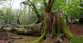Ornamental Woods and the Fallen Giants